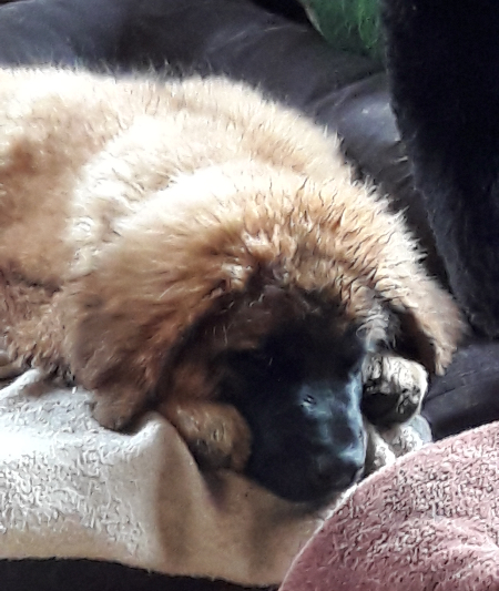 Leonberger Welpe